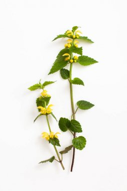 Yellow archangel, artillery plant, or aluminum plant twigs with yellow flowers on a white background