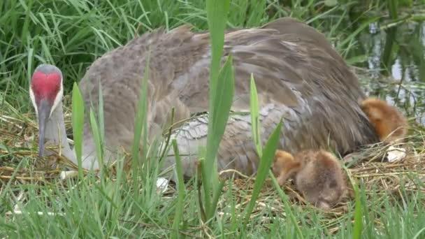 Bělostná novorozené kuřat se schovat pod křídla matky, 4k