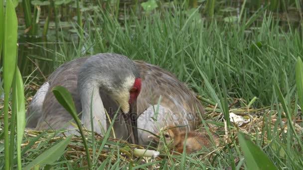 Vidloroh americký matku a novorozence se na sebe v hnízdě, 4k