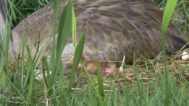 Vidloroh americký novorozence usne u matky, 4 k