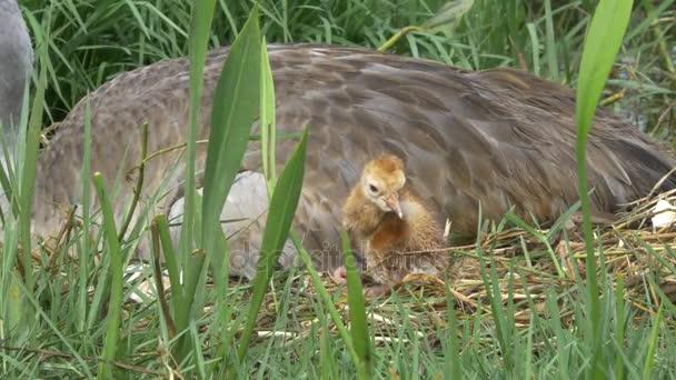 Vidloroh americký novorozené mládě stojící vedle máma, 4 k