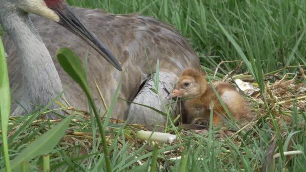 Vidloroh americký matka shlíží na novorozené mládě klopýtal, 4k