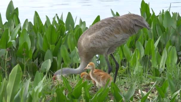 Dvě Vidloroh americký stojan mláďata v hnízdě, zatímco matka obnov, 4k