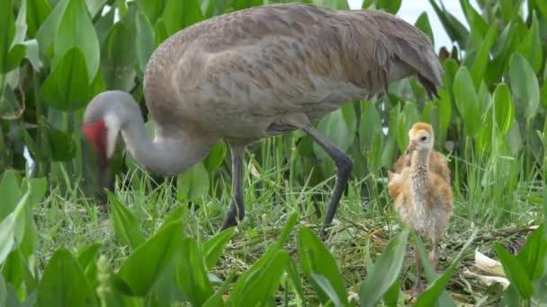 Vidloroh americký matka znovu vytvoří hnízdo, zatímco dvě mláďata stojí blízko, 4k