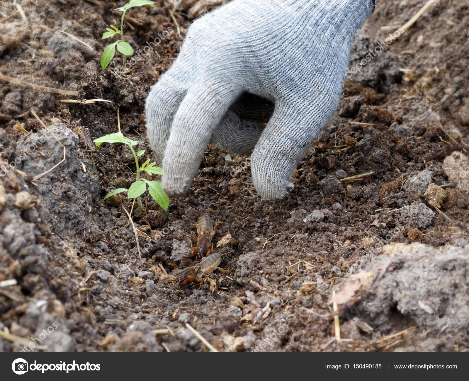 Una mano guantata intercetta i grilli talpa in giardino quando