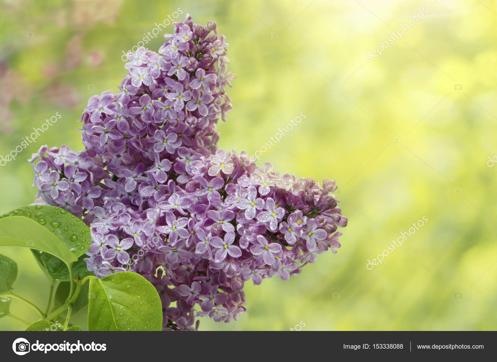 Branch Of Lilac Flowers With The Leaves And Raindrops In Sunlight