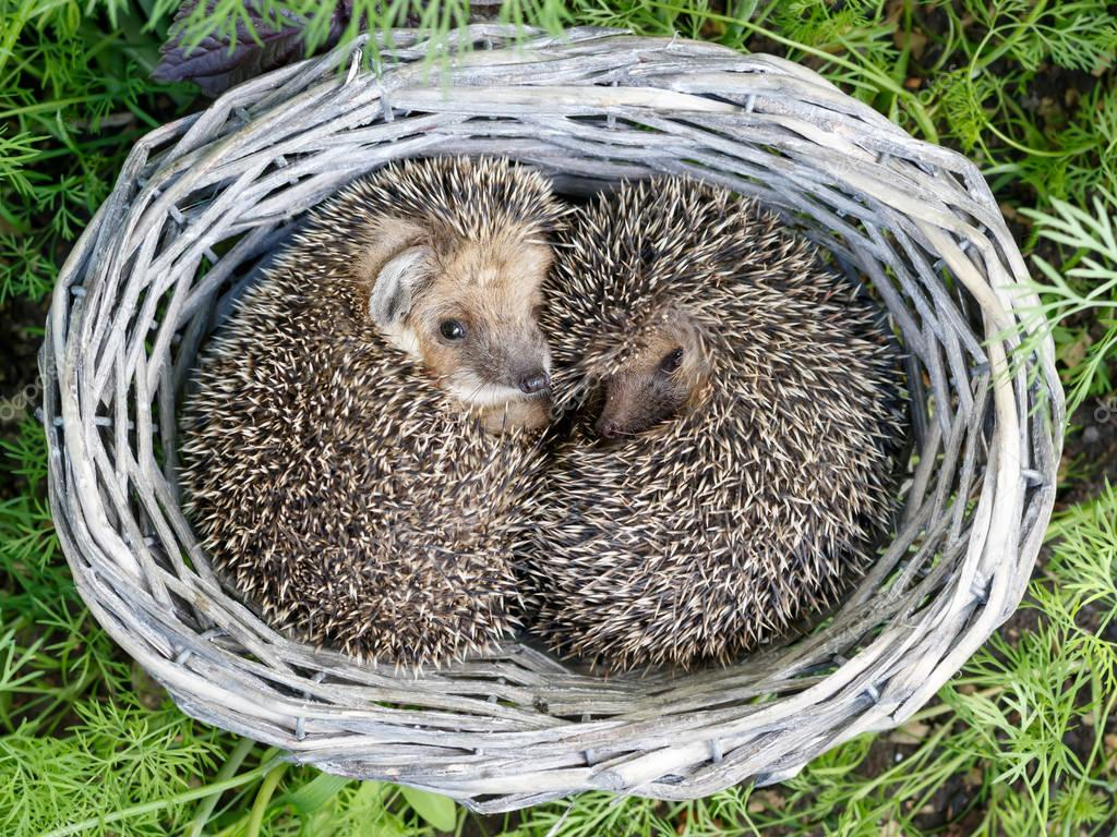 two cute  young hedgehogs inside the wicker from vine baskets on green grass