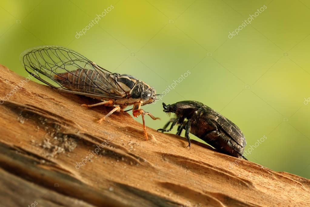 Cicada Euryphara and Rose chafer on a twig looks at each other on green background.