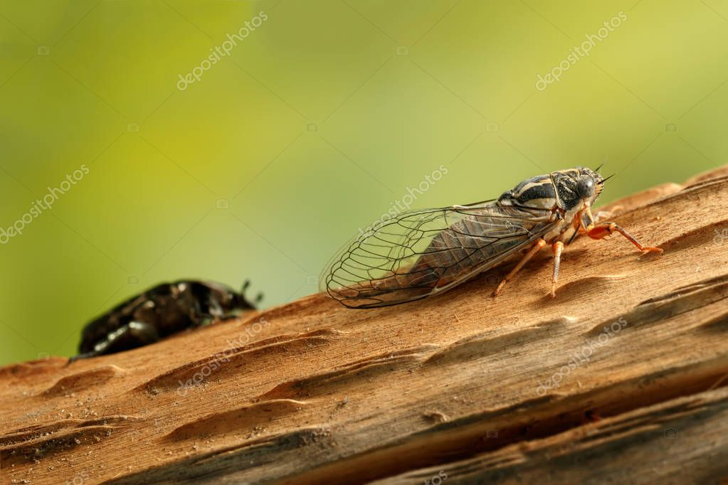 Cicada Euryphara, known as european Cicada, crawling on the trunk of a tree. Rose chafer (cetonia aurata) on background.