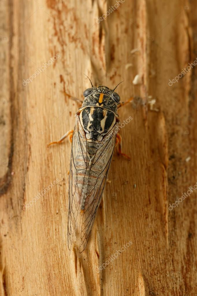 Closeup cicada Euryphara, known as european Cicada, crawling on the tree bark. Top view.