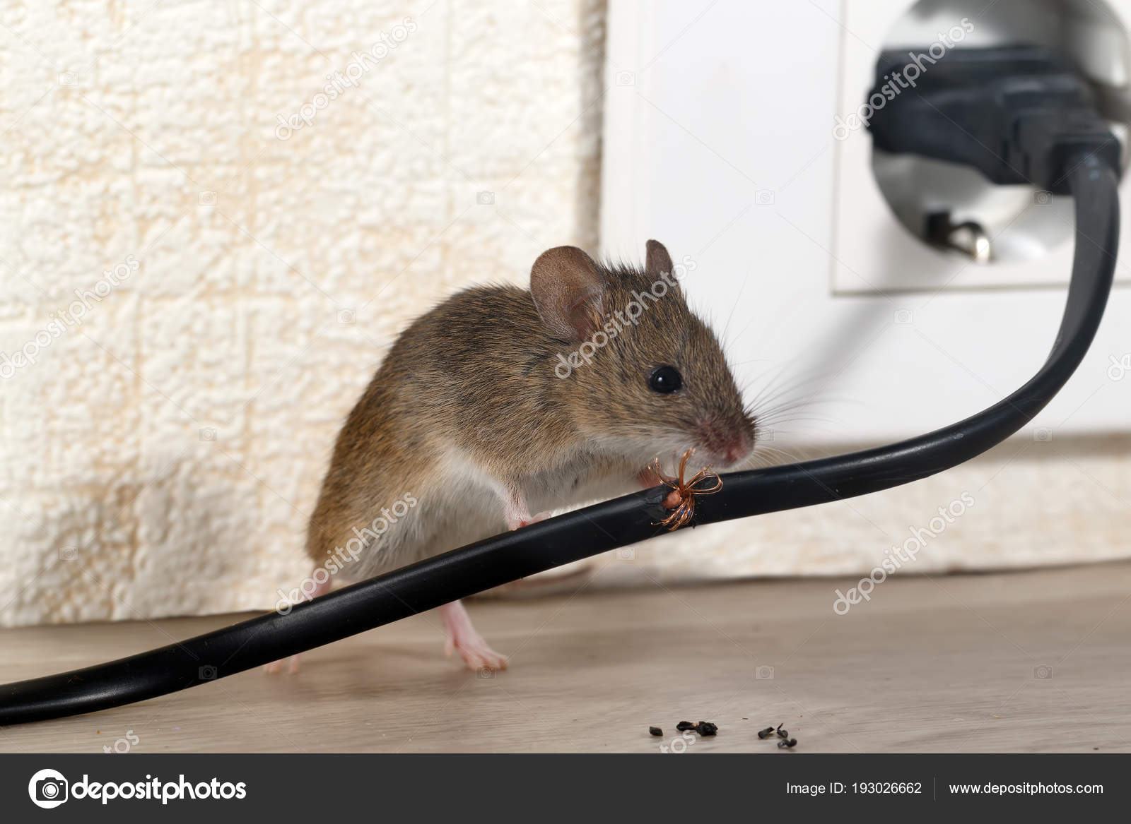 Closeup Mouse Gnaws Wire Apartment House Background Wall Electrical Wiring Inside Walls In An On The Of And Outlet High Rise Buildings Fight With Mice