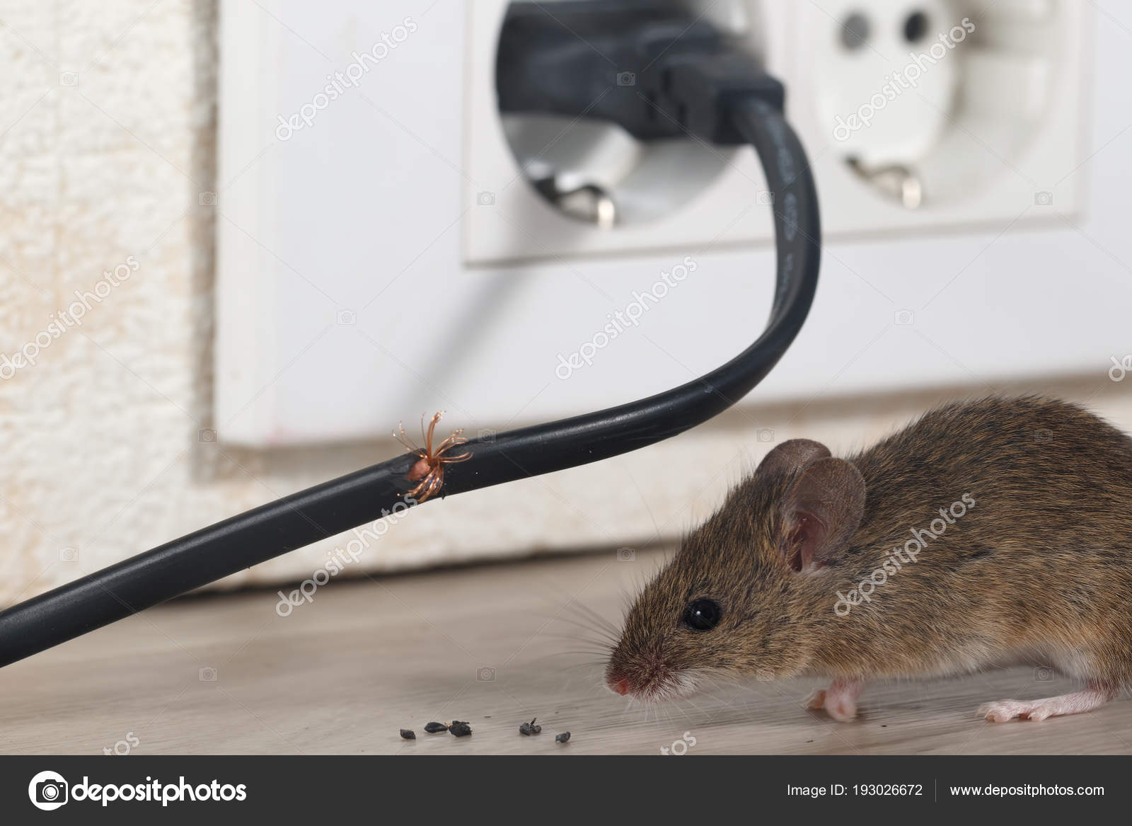 Closeup Mouse Sits Chewed Wire Apartment Kitchen Background Wall ...