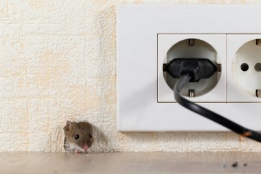 closeup mouse (Mus musculus)  peeps out of a hole in the wall with electric outlet. Mice control concept. Extermination