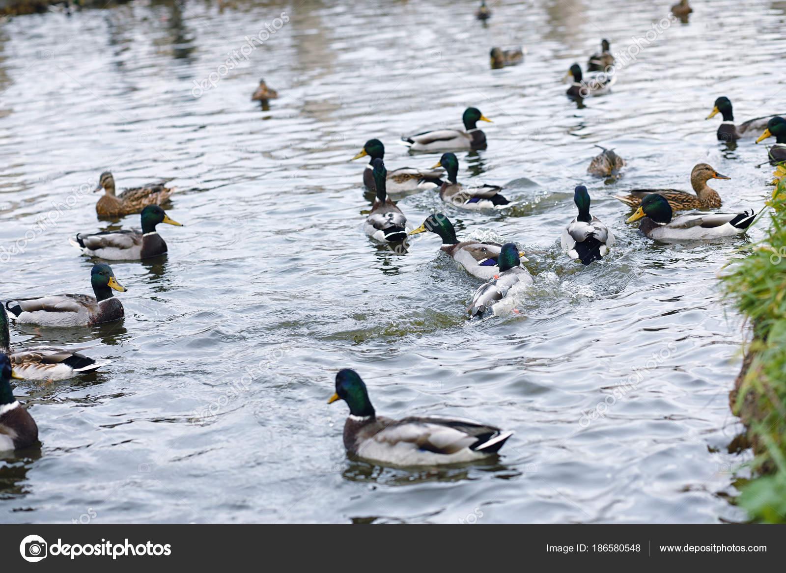 Aves en el estanque una bandada de patos y palomas por el for Imagenes de estanques para patos