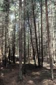 Fotografia Foresta di pini. Profondità di una foresta. Viaggio attraverso sentieri boschivi. T