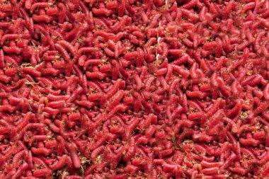 red maggot. large pile of worms