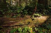 Padlé sekvoje v severní Kalifornii lese
