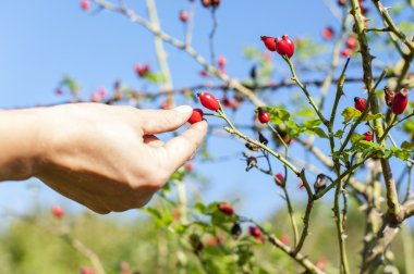 Picking rose hip fruit