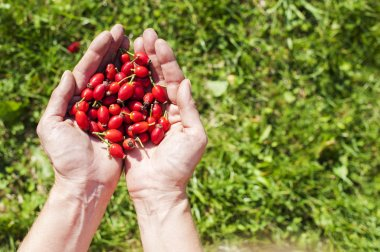 Rose hip fruit in the hands