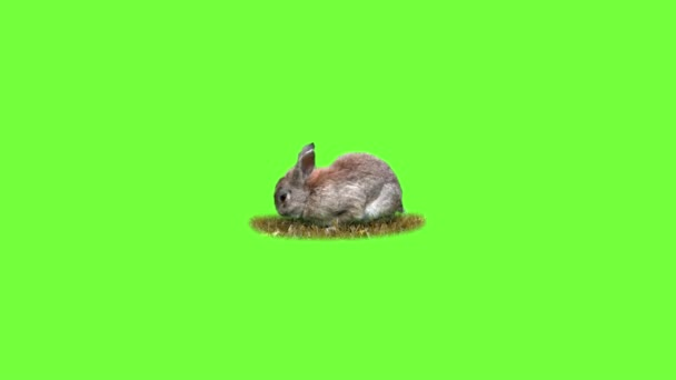 Funny rabbit eats grass