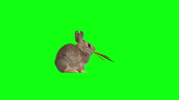 Legrační králík žere trávu