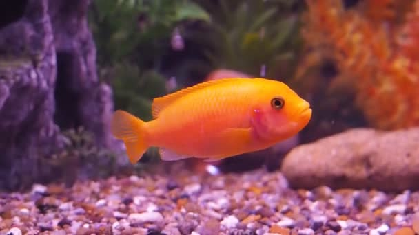 Freshwater Aquarium Fish Stock Video C Znaymeru Mail Ru 139927630
