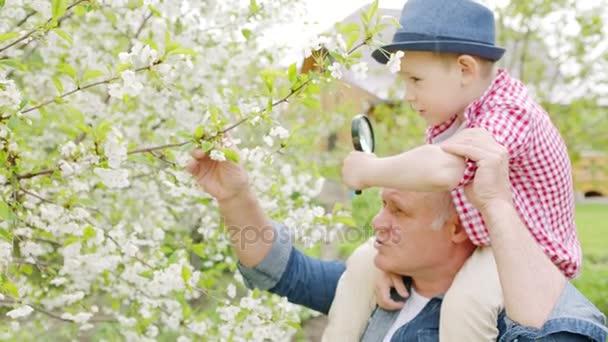 Opa und Junge schauen durch die Lupe auf Kirschblüten im Frühlingsgarten im Dorf