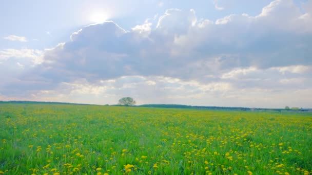 Yellow flowering field on summer time