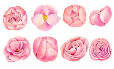 Collection of isolated watercolor pink roses and peonies, hand painted on white background