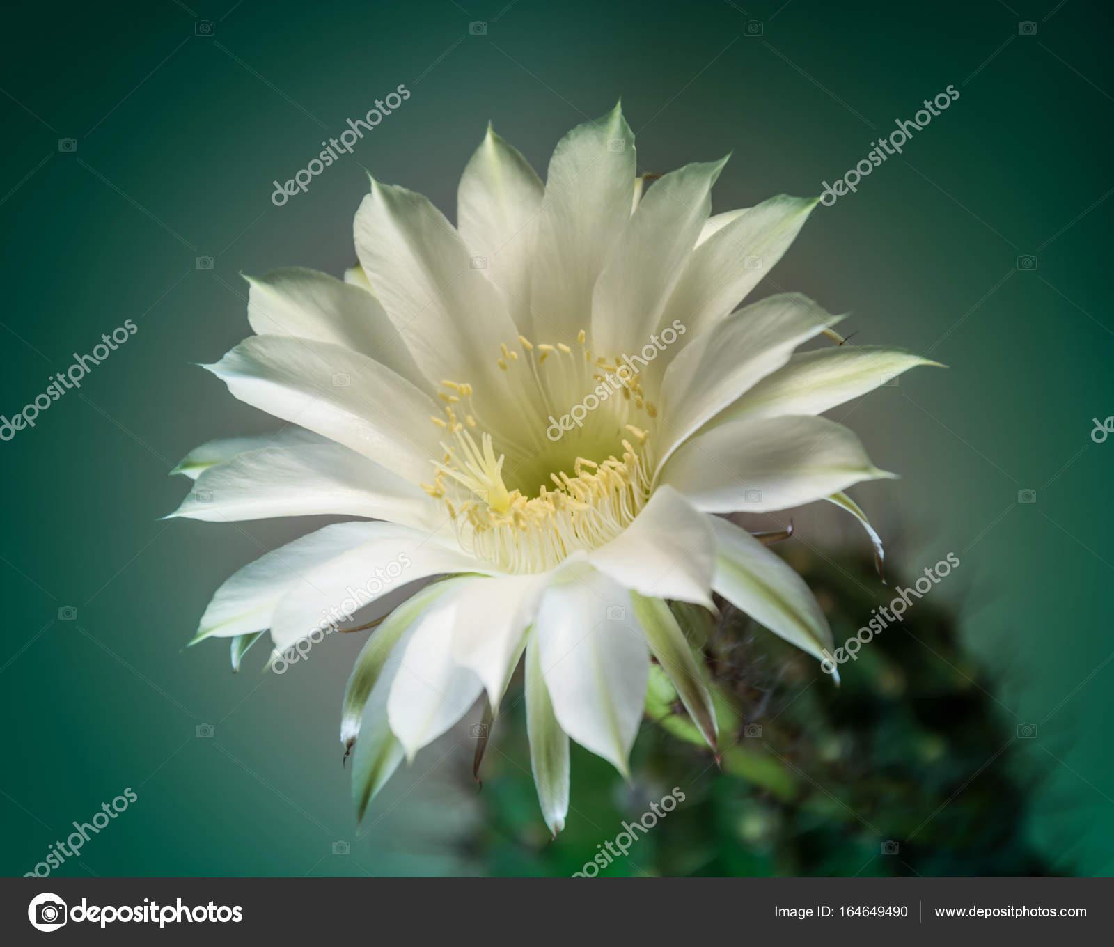 White Cactus Flower Stock Photo Panzer25 164649490