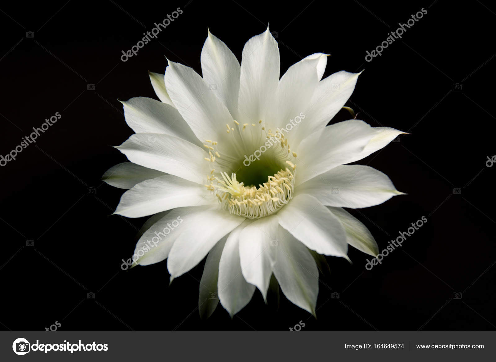 White Cactus Flower Stock Photo Panzer25 164649574