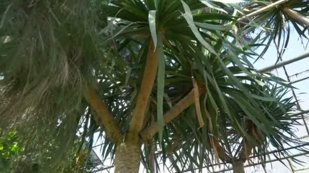 Palm tree among conifers