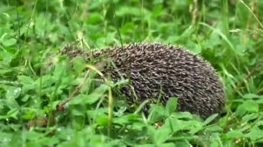 Hedgehog goes in the grass
