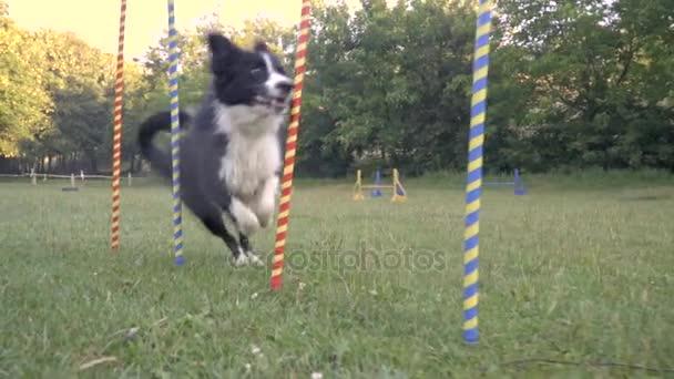 Ein kluger Hund Border Collie läuft zwischen Colorfull Pfosten auf dem grünen Rasen, die Hunde slalom. Hundeführer, Ausbildung. Slow-Motion Aufnahmen
