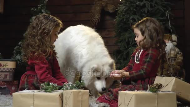 Funny Samoyed dog tries the snow from the hands of the girl, the sisters sitting among the Christmas gifts– stock footage