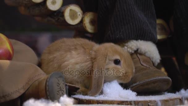 Chlupaté králičí mezi dětské nohy sniffs na umělý sníh