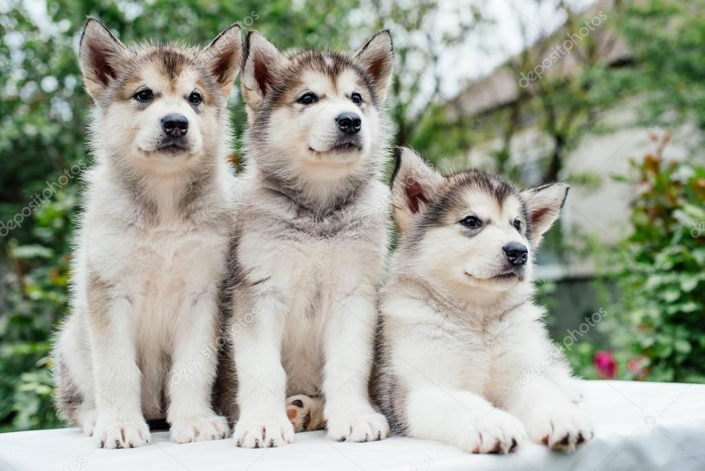 alaskan malamute puppies playing in garden