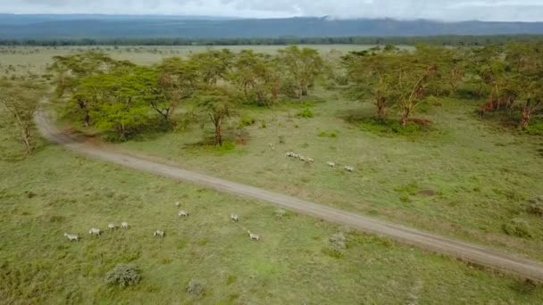 vista aerea di Zebre selvagge nella savana africana nel Parco nazionale del Lago Nakuru, Kenya