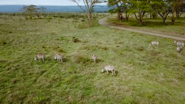 vista aerea di Zebre selvagge nella savana africana nel Parco nazionale del Lago Nakuru, Kenya.