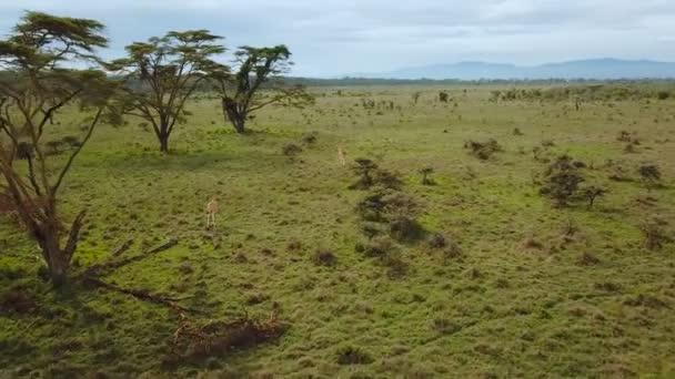 vista aerea della famiglia di giraffe nella savana africana nel Parco nazionale del Lago Nakuru, Kenya