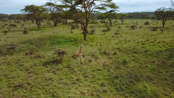 a légi felvétel a zsiráfok család afrikai szavanna Nakuru-tó Nemzeti Park, Kenya