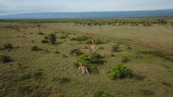 Letecký pohled na žirafy rodiny v afrických savanách v národního parku lake Nakuru, Keňa