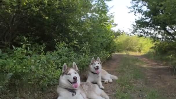 dva psi sibiřský husky odpočívá v lese