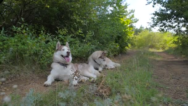 two siberian husky dogs resting in forest