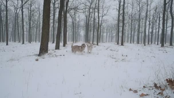 sibiřský husky psi hrají v zasněženém lese