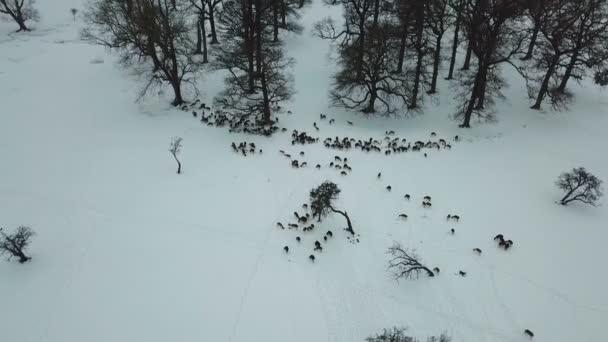 a légi felvétel a szarvast a hóban, a Phoenix park, Dublin, Írország.