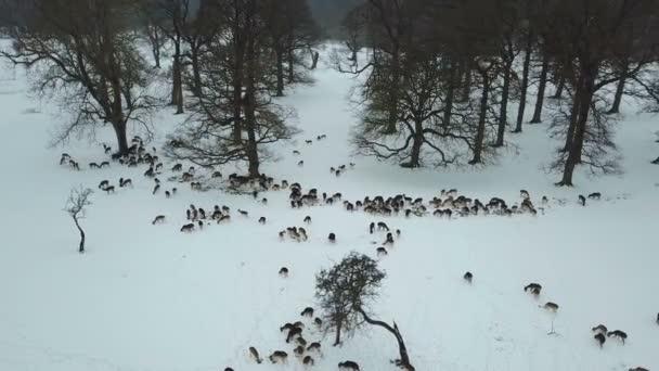 a légi felvétel a szarvast a hóban, a Phoenix park, Dublin, Írország