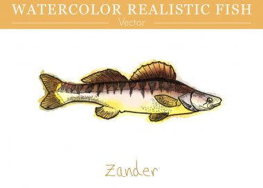 Hand painted watercolor edible fish. Vector design