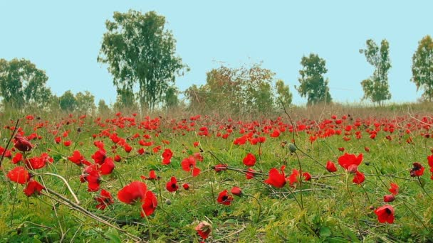 Cinemagraph of field of red anemones