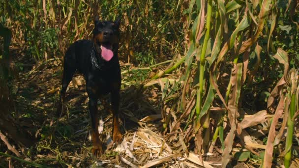 Cinemagraph of doberman dog standing in a cornfield and drooling